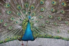 Påfågeln fördelar dess svans Arkivbilder