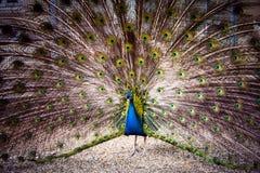 Påfågeln fördelar dess svans Royaltyfria Foton