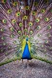 Påfågeln fördelar dess svans Royaltyfri Foto