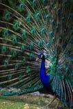Påfågeln fläktar dess svans för att tilldra kvinnlign Fotografering för Bildbyråer