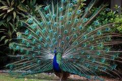 Påfågeln fläktar dess svans för att tilldra kvinnlign Arkivfoto