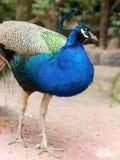 Påfågeln går och se i trädgård Arkivbilder