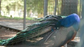 Påfågeln i buren arkivfilmer
