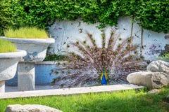 Påfågeln med den utbredda svansen parkerar in trädgården Arkivbild
