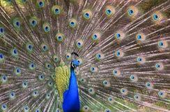 Påfågeln med dess svansfjädrar fläktade fullständigt arkivbild