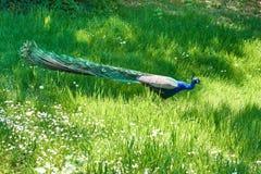 Påfågeln på gräs av parkerar Arkivbilder