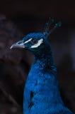 Påfågeln (Pavo Cristatus) vände till det vänstert Royaltyfri Fotografi