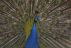 Påfågeln (Pavocristatus) i Campo del Moro arbeta i trädgården, Madrid, Spai royaltyfri foto