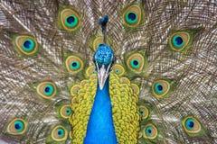 Påfågeln (Pavocristatus) med fjädrar fördelade ut arkivfoto