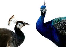påfågeln peahen Royaltyfri Fotografi