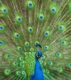 Påfågeln putsar Fotografering för Bildbyråer