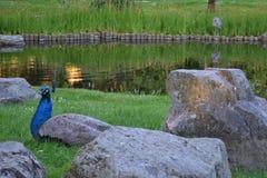 Påfågeln som vilar på gräs between, vaggar Arkivfoto