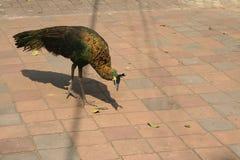 Påfågeln spenderar fritt liv på tempelgården fotografering för bildbyråer