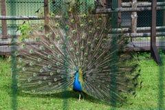 Påfågeln upplöste svansen arkivbild