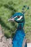 Påfågeln vände till det vänstert på en grön bakgrund Royaltyfria Foton