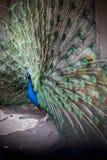 Påfågeln visar svansen, påfågeln framlägger fjädrar, ordnar kurtis, påfågelsöga fotografering för bildbyråer
