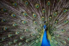 Påfågeln visar svansen, påfågeln framlägger fjädrar, ordnar kurtis, påfågelsöga arkivfoto