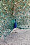 Påfågeln visar svansfjädrar Fotografering för Bildbyråer