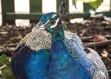 Påfågelns huvud, påfågel sitter Arkivfoto