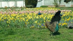 PåfågelPavocristatus och indiskt manligt djur för blå peafowl och pärlhöns och helmeted guineafowlNumidameleagris lager videofilmer