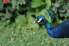 Påfågelpeafowl Fotografering för Bildbyråer