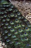 påfågelplumage Arkivfoto