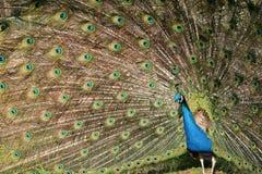 påfågelroteringshjul royaltyfri bild