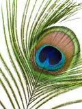 Påfågelsärdrag Royaltyfria Bilder