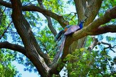 Påfågelsammanträde i ett träd Arkivfoto