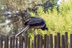 Påfågelsammanträde på ett staket som väntar för att hoppa fotografering för bildbyråer