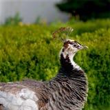 Påfågelshöna Royaltyfria Bilder