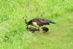 Påfågelshönapeachicks Fotografering för Bildbyråer