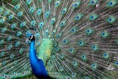 påfågelshow Arkivfoto