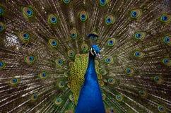 Påfågelshow Fotografering för Bildbyråer