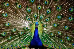 Påfågelskärm Arkivbild
