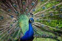 Påfågelspridning de blåa svansarna Royaltyfria Foton