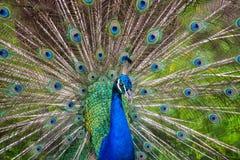 Påfågelspridning de blåa svansarna Royaltyfri Bild