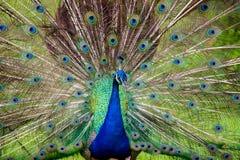 Påfågelspridning de blåa svansarna Royaltyfri Fotografi