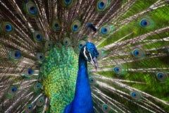 Påfågelspridning de blåa svansarna Arkivbild