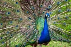 Påfågelspridning de blåa svansarna Arkivfoton
