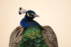 Påfågelstående Arkivbild