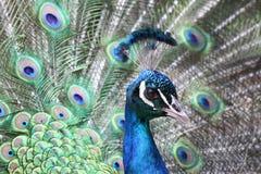 Påfågelstående Fotografering för Bildbyråer