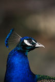 Påfågelstående Arkivfoto