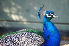 Påfågelståendecloseup Arkivfoto