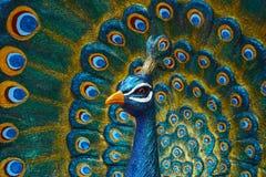 Påfågelstaty Fotografering för Bildbyråer