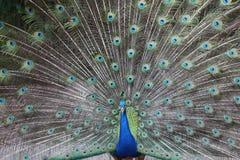 Påfågelsvans royaltyfria bilder