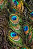 Påfågelsvans arkivbilder