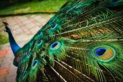 Påfågelsvansfjädrar på skärm arkivbilder