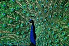 Påfågelsvansfjädrarna Arkivfoton