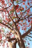Påfågelträd i blomning Royaltyfri Fotografi